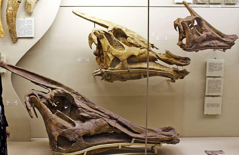 Saurolophus skull
